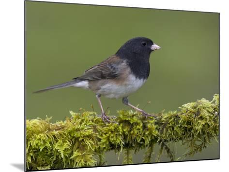 Dark-Eyed Junco (Junco Hyemalis) Perched on a Mossy Branch in Victoria, British Columbia, Canada-Glenn Bartley-Mounted Photographic Print