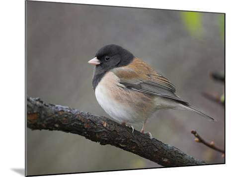 A Dark-Eyed Junco (Junco Hyemalis) Perches on a Branch in Victoria, British Columbia, Canada-Glenn Bartley-Mounted Photographic Print
