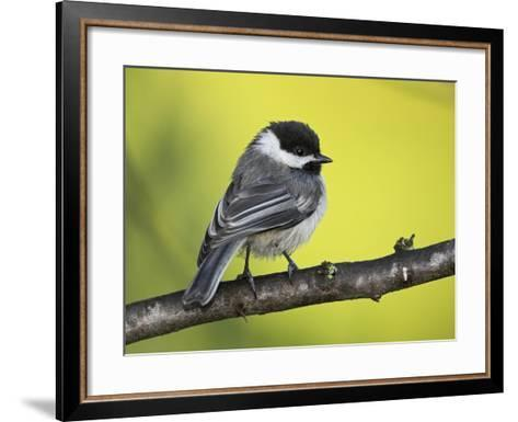 Black-Capped Chickadee (Poecile Atricapillus) Perched on a Branch, Ontario Canada-Glenn Bartley-Framed Art Print