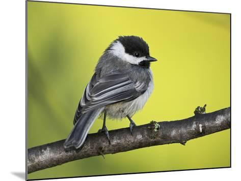 Black-Capped Chickadee (Poecile Atricapillus) Perched on a Branch, Ontario Canada-Glenn Bartley-Mounted Photographic Print