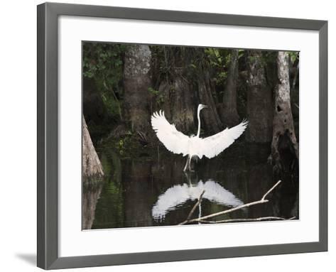 Great Egret (Ardea Alba) in Big Cypress Swamp, Everglades, Florida, USA-John Cornell-Framed Art Print