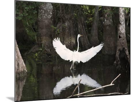 Great Egret (Ardea Alba) in Big Cypress Swamp, Everglades, Florida, USA-John Cornell-Mounted Photographic Print
