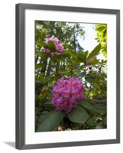 California Rhododendron, Rhododendron Macrophyllum, Kruse Rhododendron Reserve-Gerald & Buff Corsi-Framed Art Print