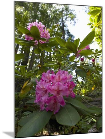 California Rhododendron, Rhododendron Macrophyllum, Kruse Rhododendron Reserve-Gerald & Buff Corsi-Mounted Photographic Print