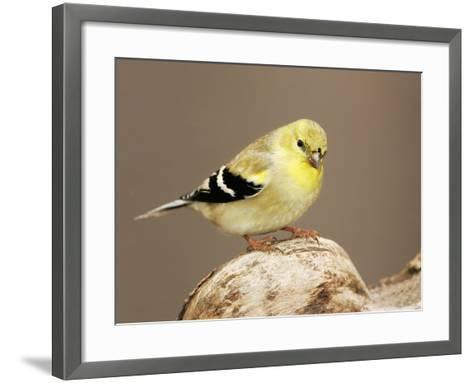 American Goldfinch (Carduelis Tristis), North America-John Cornell-Framed Art Print