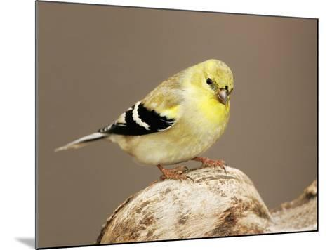 American Goldfinch (Carduelis Tristis), North America-John Cornell-Mounted Photographic Print