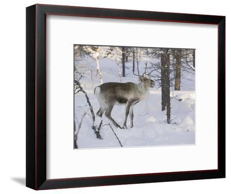 Reindeer Foraging in Northern Finland in Winter Near Saariselka-Ashley Cooper-Framed Art Print