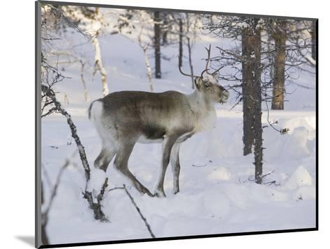 Reindeer Foraging in Northern Finland in Winter Near Saariselka-Ashley Cooper-Mounted Photographic Print