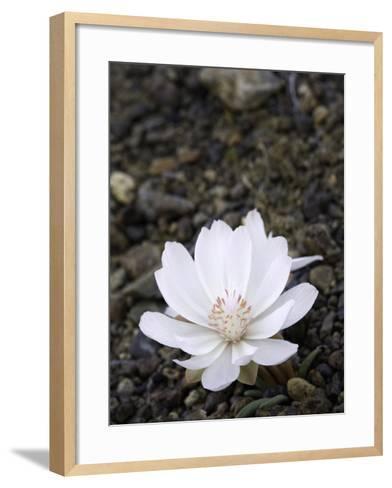 Bitter Root Flower (Lewisia Rediviva), Rome, Oregon, USA-David Cobb-Framed Art Print