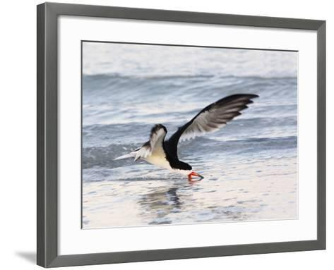 Black Skimmer (Rynchops Niger) Foraging for Fish by Skimming the Water's Surface-John Cornell-Framed Art Print