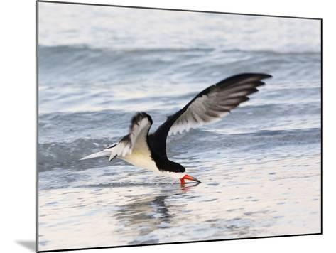 Black Skimmer (Rynchops Niger) Foraging for Fish by Skimming the Water's Surface-John Cornell-Mounted Photographic Print