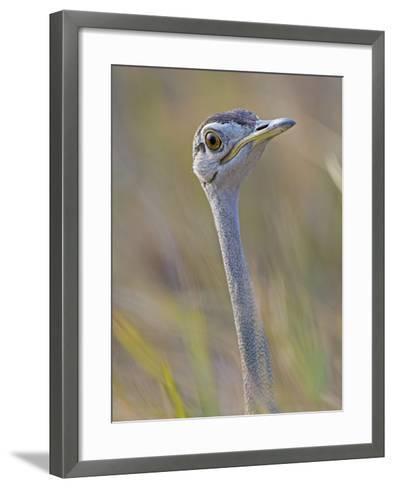 Black-Bellied Bustard, Eupodotis Melanogaster, Head, Moremi Wildlife Reserve, Botswana, Africa-Gerald & Buff Corsi-Framed Art Print