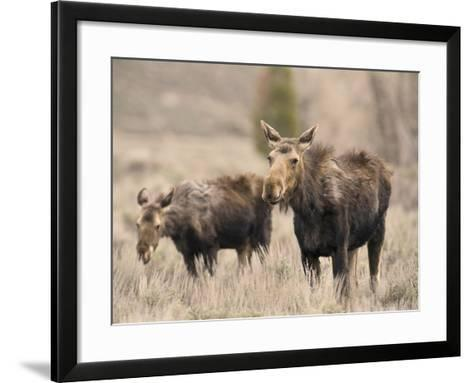 Moose Adult and Calf (Alces Alces), Grand Teton National Park, Wyoming, USA-David Cobb-Framed Art Print