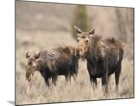 Moose Adult and Calf (Alces Alces), Grand Teton National Park, Wyoming, USA-David Cobb-Mounted Photographic Print