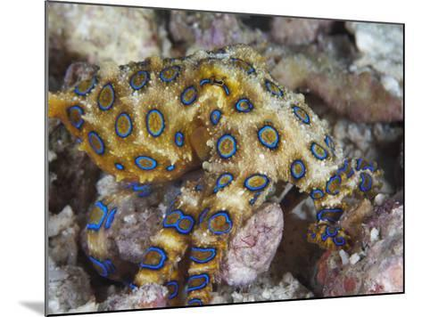 Greater Blue-Ringed Octopus (Hapalochlaena Lunulata) a Small But Highly Venomous Species-Christopher Crowley-Mounted Photographic Print