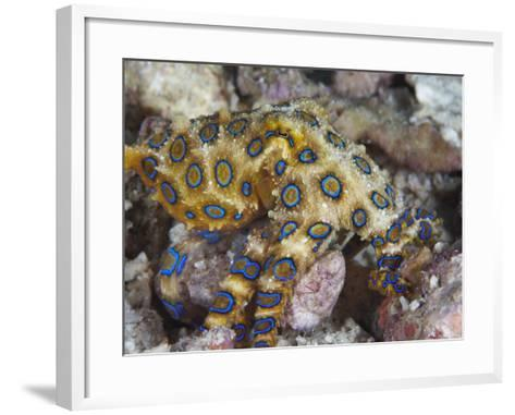 Greater Blue-Ringed Octopus (Hapalochlaena Lunulata) a Small But Highly Venomous Species-Christopher Crowley-Framed Art Print