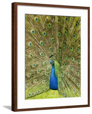 A Male Peacock Displaying-Ashley Cooper-Framed Art Print