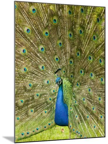 A Male Peacock Displaying-Ashley Cooper-Mounted Photographic Print