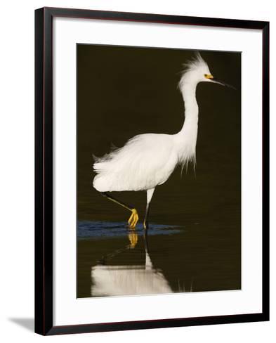 Snowy Egret (Egretta Thula)-John Cornell-Framed Art Print