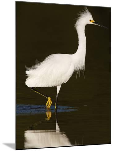 Snowy Egret (Egretta Thula)-John Cornell-Mounted Photographic Print