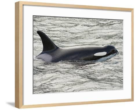 The Orca or Killer Whale (Orcinus Orca), Johnstone Strait, Vancouver Island, British Columbia-Buff & Gerald Corsi-Framed Art Print