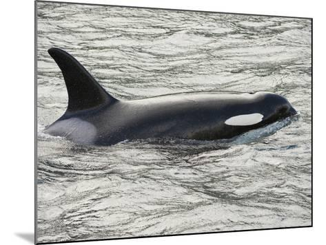 The Orca or Killer Whale (Orcinus Orca), Johnstone Strait, Vancouver Island, British Columbia-Buff & Gerald Corsi-Mounted Photographic Print