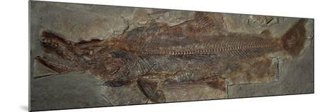 One Million Year Old Sockeye Salmon Fossil, Skokomish River Valley, Olympic Peninsula, Washington-Buff & Gerald Corsi-Mounted Photographic Print