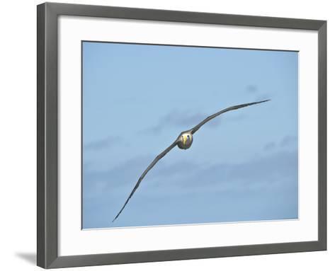 Waved Albatross Flying (Phoebastria Irrorata), Punta Suarez, Espanola Island, Galapagos Islands-Gerald & Buff Corsi-Framed Art Print