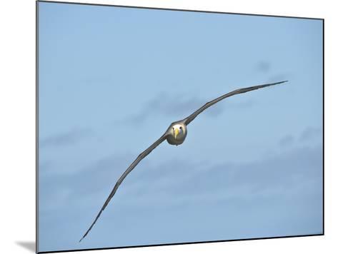 Waved Albatross Flying (Phoebastria Irrorata), Punta Suarez, Espanola Island, Galapagos Islands-Gerald & Buff Corsi-Mounted Photographic Print
