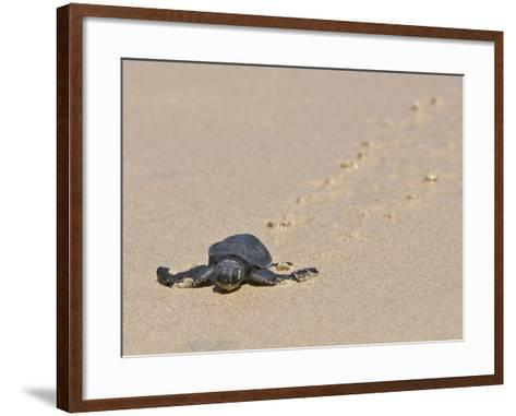 Green Sea Turtle Hatchling (Chelonia Mydas Agassizi), Galapagos Islands-Gerald & Buff Corsi-Framed Art Print