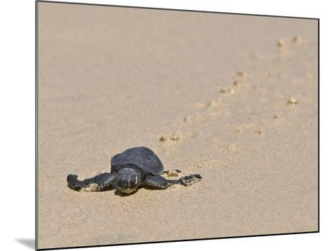 Green Sea Turtle Hatchling (Chelonia Mydas Agassizi), Galapagos Islands-Gerald & Buff Corsi-Mounted Photographic Print
