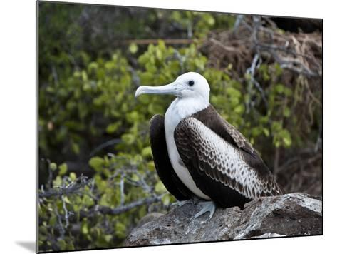 Magnificent Frigatebird (Fregata Magnificens), North Seymour, Galapagos Islands, Ecuador-Gerald & Buff Corsi-Mounted Photographic Print