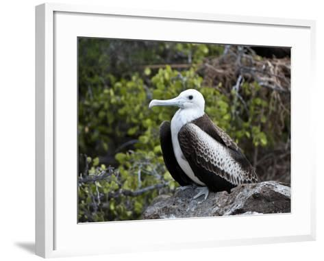Magnificent Frigatebird (Fregata Magnificens), North Seymour, Galapagos Islands, Ecuador-Gerald & Buff Corsi-Framed Art Print