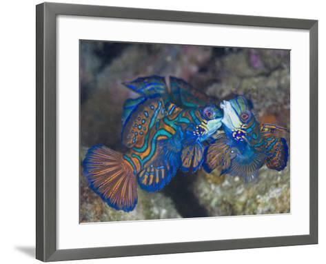 Male Mandarinfish (Synchiropus Splendidus) Fighting, One Trying to Drive the Other Away-Christopher Crowley-Framed Art Print