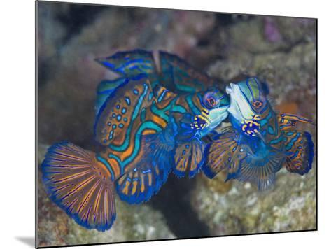 Male Mandarinfish (Synchiropus Splendidus) Fighting, One Trying to Drive the Other Away-Christopher Crowley-Mounted Photographic Print