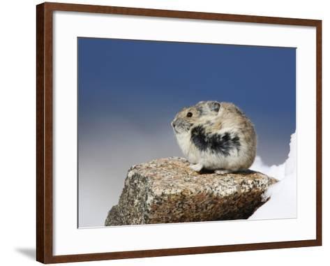 Alpine Pika (Ochotona Alpina), Rocky Mountains, North America-John Cornell-Framed Art Print