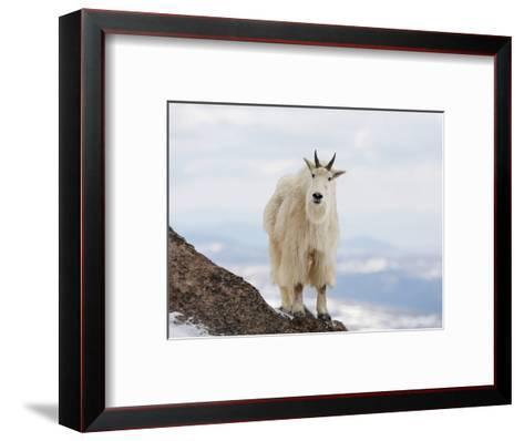 Mountain Goat (Oreamnos Americanus), Rocky Mountains, North America-John Cornell-Framed Art Print