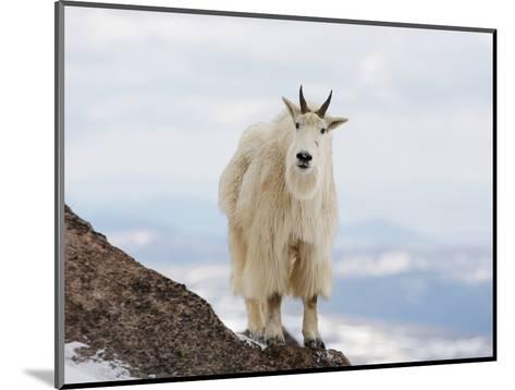 Mountain Goat (Oreamnos Americanus), Rocky Mountains, North America-John Cornell-Mounted Photographic Print