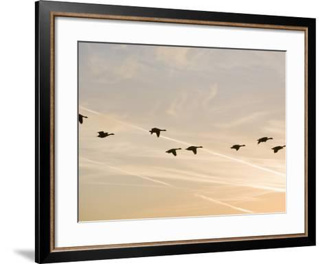 Canada Geese in Flight with Jet Contrails in the Sky Behind-Ashley Cooper-Framed Art Print