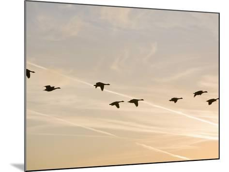 Canada Geese in Flight with Jet Contrails in the Sky Behind-Ashley Cooper-Mounted Photographic Print