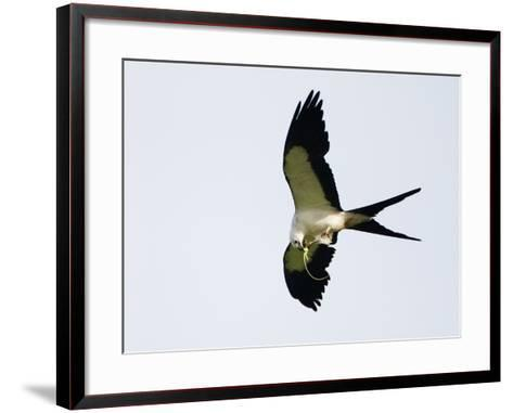 Swallow-Tailed Kite Flying with Lizard Prey in its Bill and Talons (Elanoides Forficatus)-John Cornell-Framed Art Print
