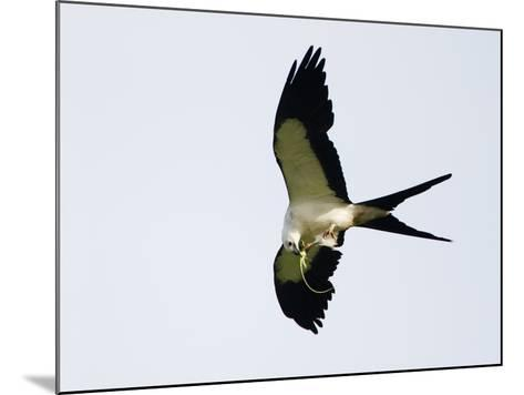 Swallow-Tailed Kite Flying with Lizard Prey in its Bill and Talons (Elanoides Forficatus)-John Cornell-Mounted Photographic Print