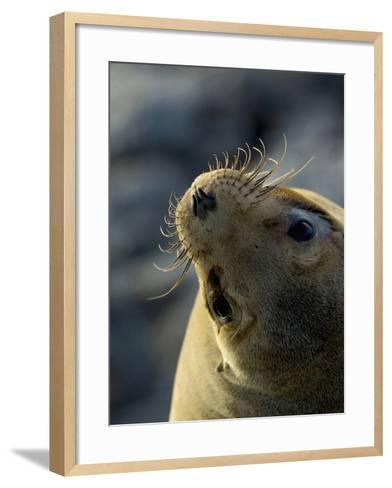 Galapagos Sea Lion, Zalophus Califoranius Wollebekii, South Plaza Island, Galapagos Islands-Gerald & Buff Corsi-Framed Art Print