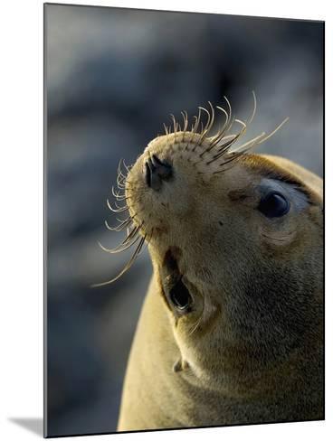 Galapagos Sea Lion, Zalophus Califoranius Wollebekii, South Plaza Island, Galapagos Islands-Gerald & Buff Corsi-Mounted Photographic Print