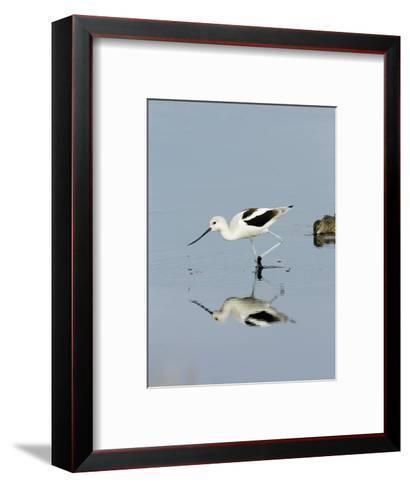 American Avocet (Recurvirostra Americana), Merritt Island National Wildlife Refuge, Florida-Marc Epstein-Framed Art Print