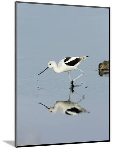 American Avocet (Recurvirostra Americana), Merritt Island National Wildlife Refuge, Florida-Marc Epstein-Mounted Photographic Print