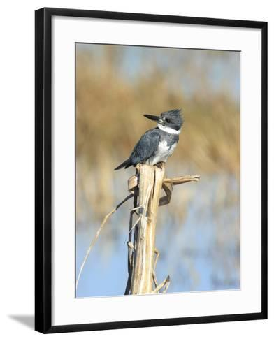 Male Belted Kingfisher (Ceryle Alcyon) Perching on Pig Weed Stalk-Marc Epstein-Framed Art Print