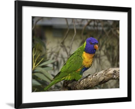 The Rainbow Lorikeet (Trichoglossus Haematodus)-David Fleetham-Framed Art Print