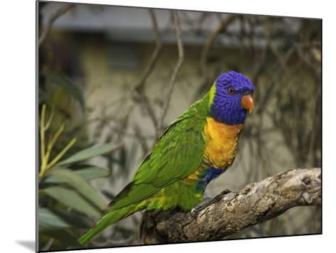 The Rainbow Lorikeet (Trichoglossus Haematodus)-David Fleetham-Mounted Photographic Print