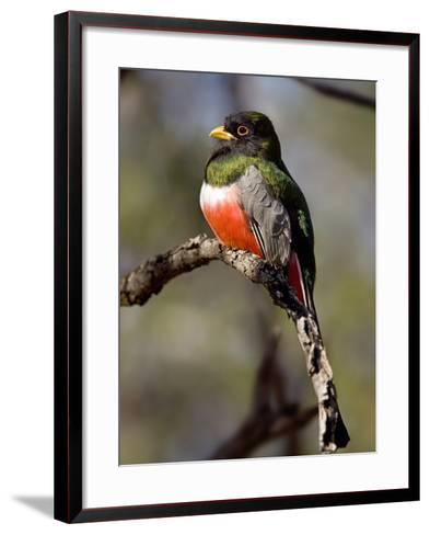 Male Elegant Trogon (Trogon Elegans) Perching, Arizona, USA-Don Grall-Framed Art Print